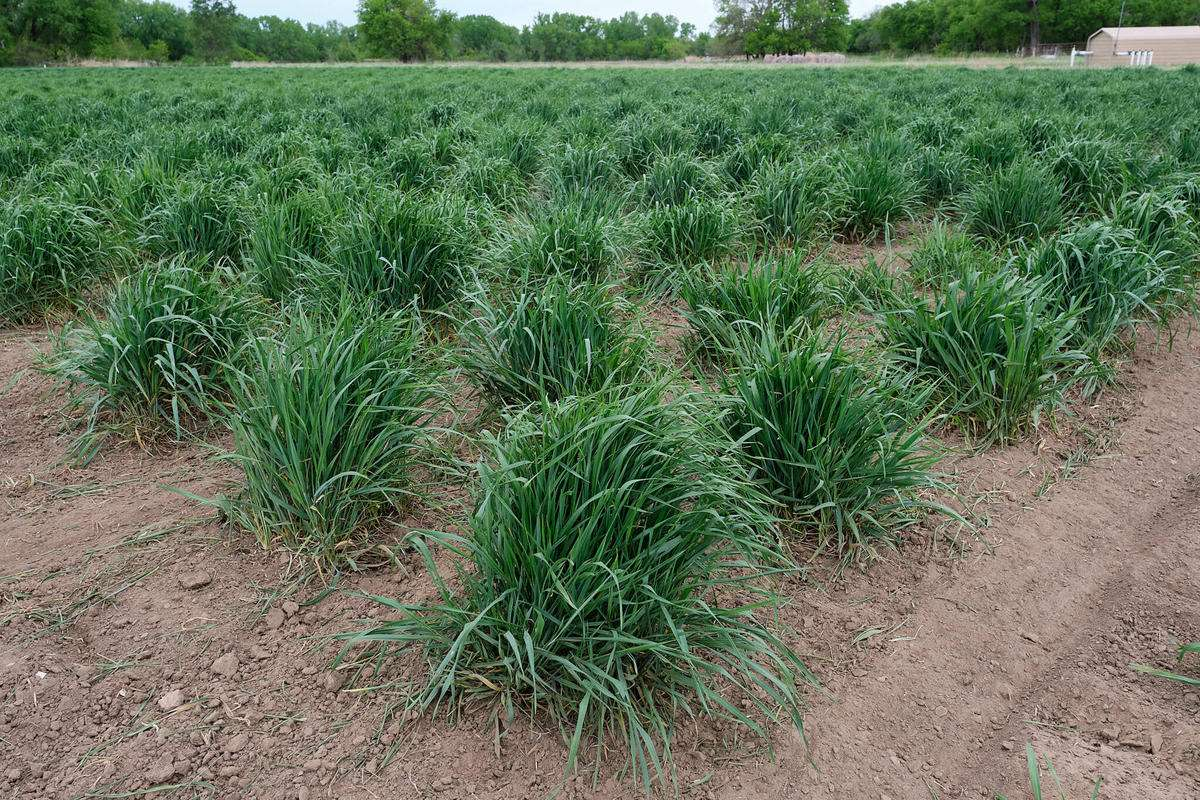 A field of Kernza perennial grains at the Land Institute. Credit Brian Grimmett / Kansas News Service